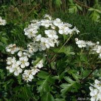 Hawthorn bio