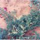Harpagophytum