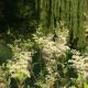Meadowsweet organica 1 kg